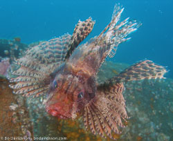 BD-080331-Lembeh-3312591-Dendrochirus-brachypterus-(Cuvier.-1829)-[Shortfin-turkeyfish].jpg